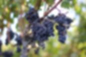 les cépages de bordeaux : merlot, cabernet sauvignon, cabernet franc, muscadelle, sauvignon, sémillon