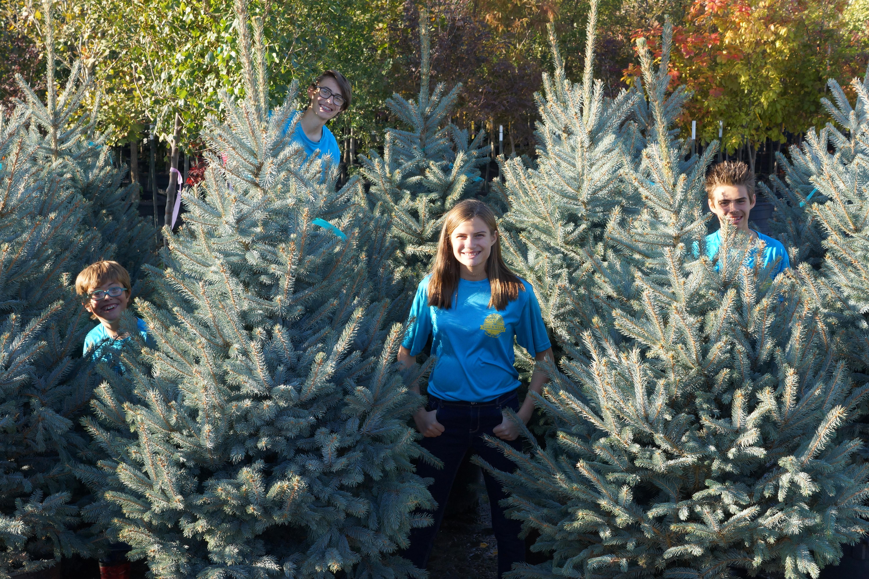 Blue spruce_fall