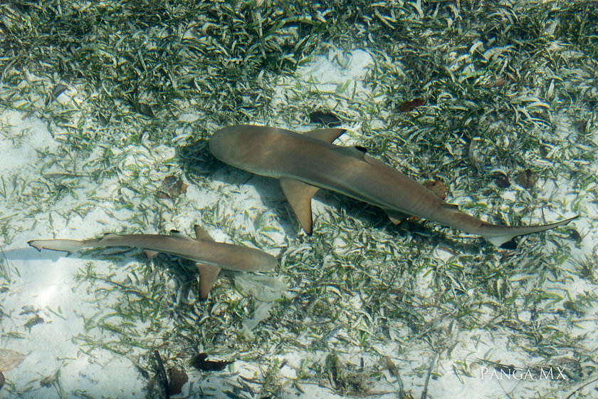 Double Juvenile Sharks.jpg