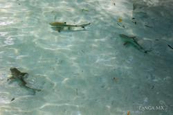 3 Baby Sharks Raja Ampat.jpg