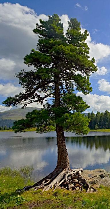 Zirbe auf der Turracherhöhe - Ursprung für Zirbennebler Holz