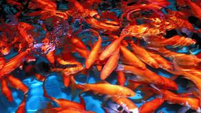 APiD Ep. 036 | The Global Fish Pond Crisis