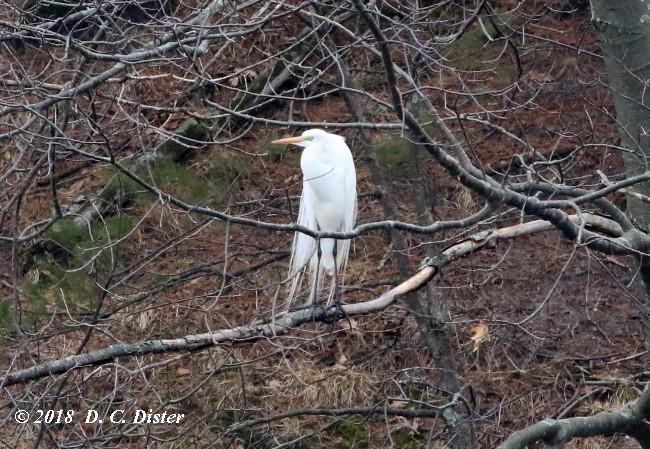 Great Egret along Big Sable River at Ludington State Park