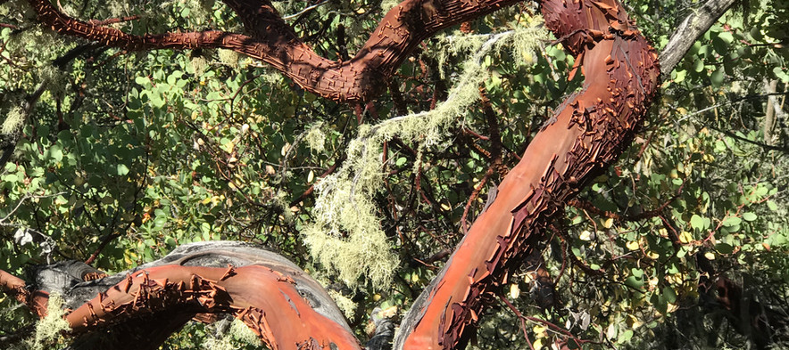 Madrone Heart in the Woods
