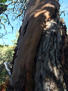 Madrone Layers.JPG