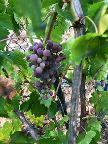 Grapes Growing.JPG