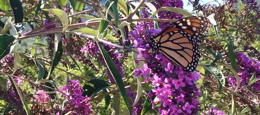 Swallowtail in Butterfly Bush