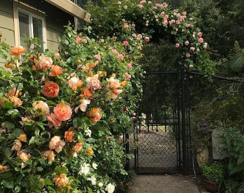 Rose Walkway