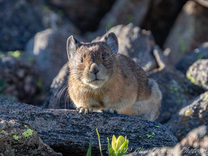 PIKA:   A Global Warming Indicator Species