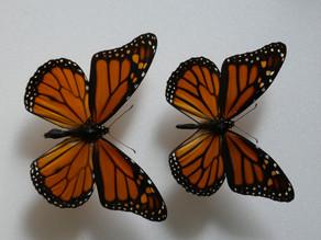 Monarch Butterflies In Decline