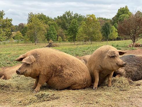 2 pigs.jpg