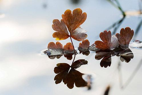 Blader i vann I, grå og bruntoner