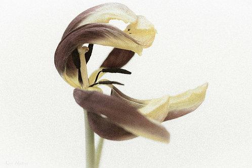 Gul tulipan, I