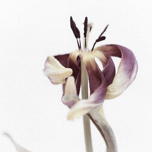 Gul tulipan, II