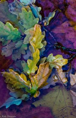 Eikeblader i høstskrud