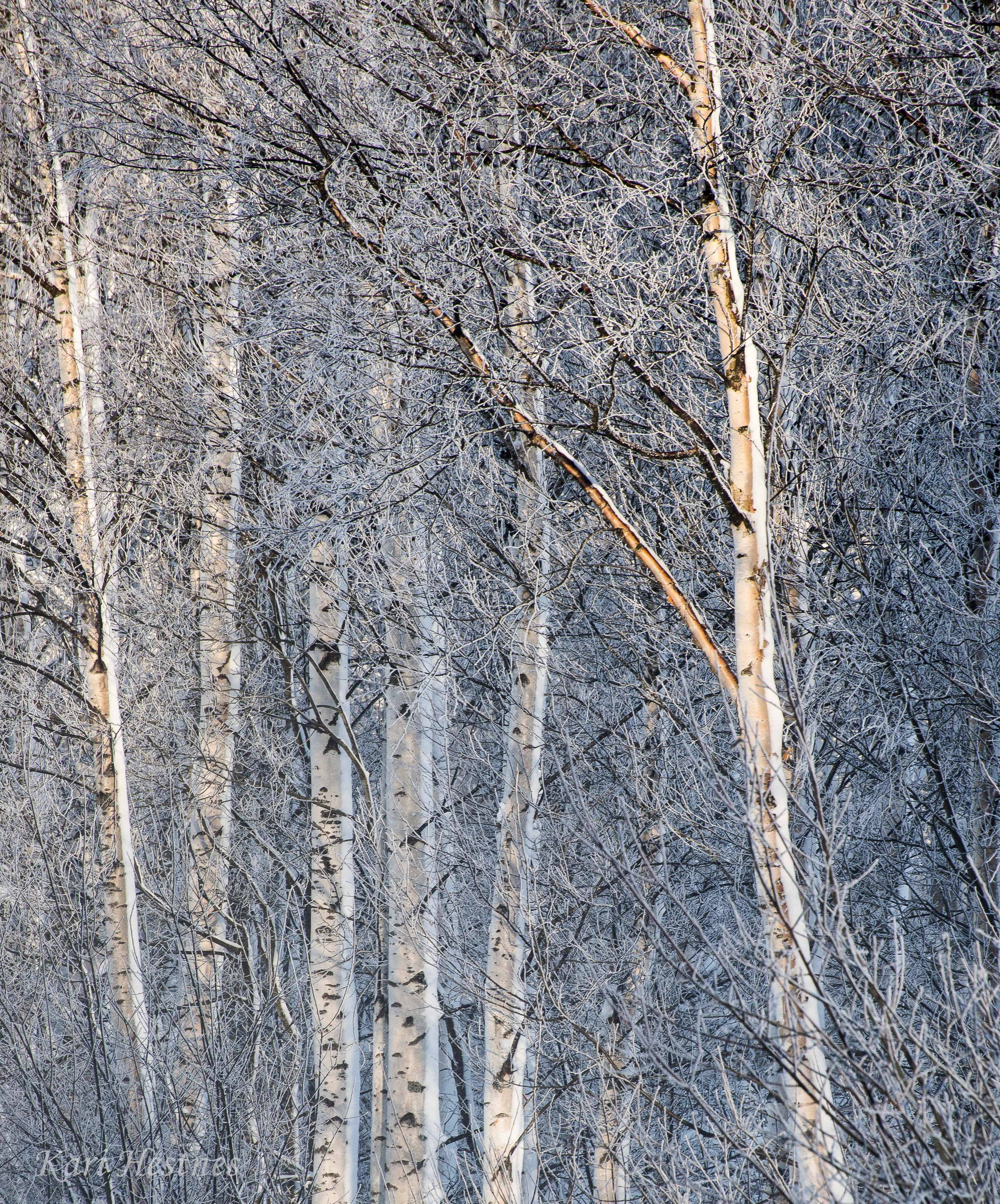 Vakre bjørketrær