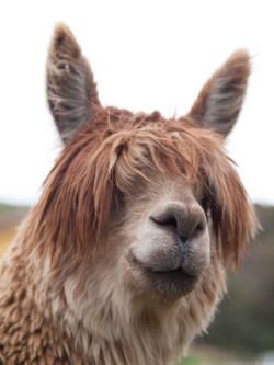 h alpacas, locationP3177546DS