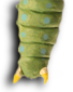 Caterpillar tail.png