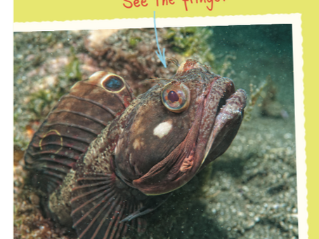 Curious about the Sarcastic Fringehead