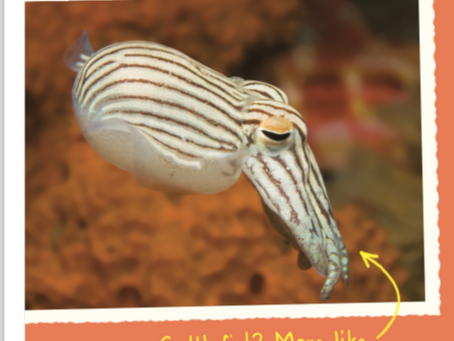 Curious About the Striped Pyjama Squid