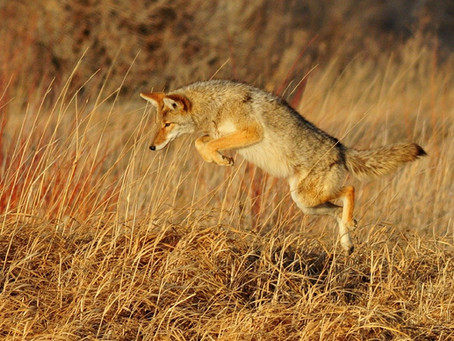 What If You Learn Like a Coyote?