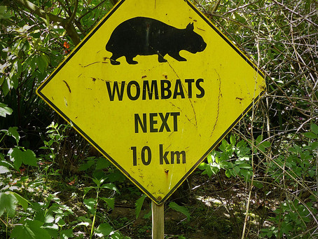 Curious about the Southern Hairy-Nosed Wombat