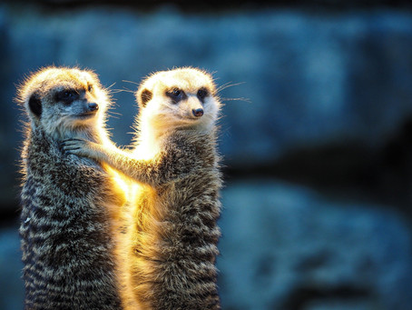 What If You Teach Like a Meerkat?