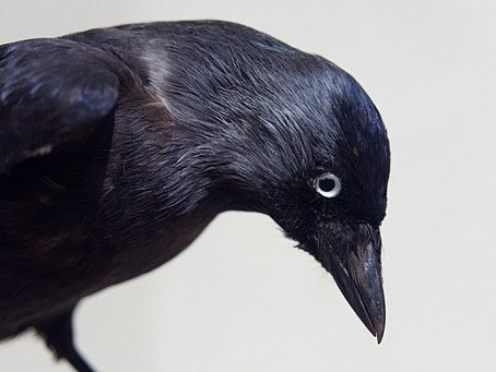 What If Crows Are Vengeful!
