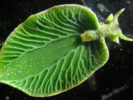 What Can You Learn from a Solar-Powered  Sea Slug?