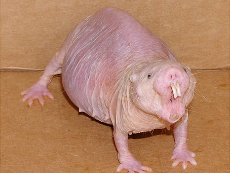 Curious About the Naked Mole Rat