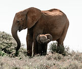 Study Shows Elephants evolving to be tuskless in Response to Years of Ivory Poaching