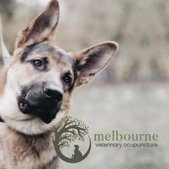 Melbourne Veterinary Acupuncture