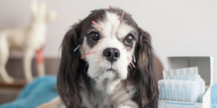 How Acupuncture can help your dog's pain