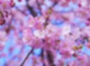 cherry-blossom-1317308_1920.jpg
