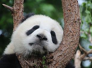 panda-1236875_1920.jpg
