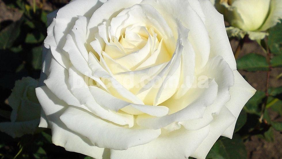 """Роза чайно-гибридная """"АВАЛАНШ"""""""