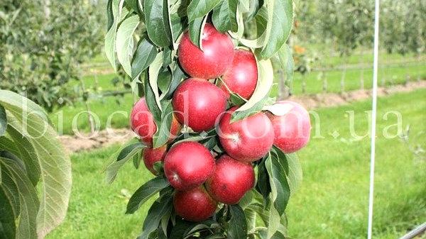 Яблоня колонновидная Джин_Биосад саженцы