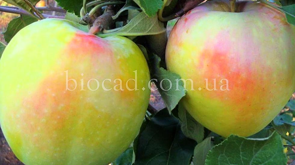 Саженцы яблони Сапфир_саженцы Биосад