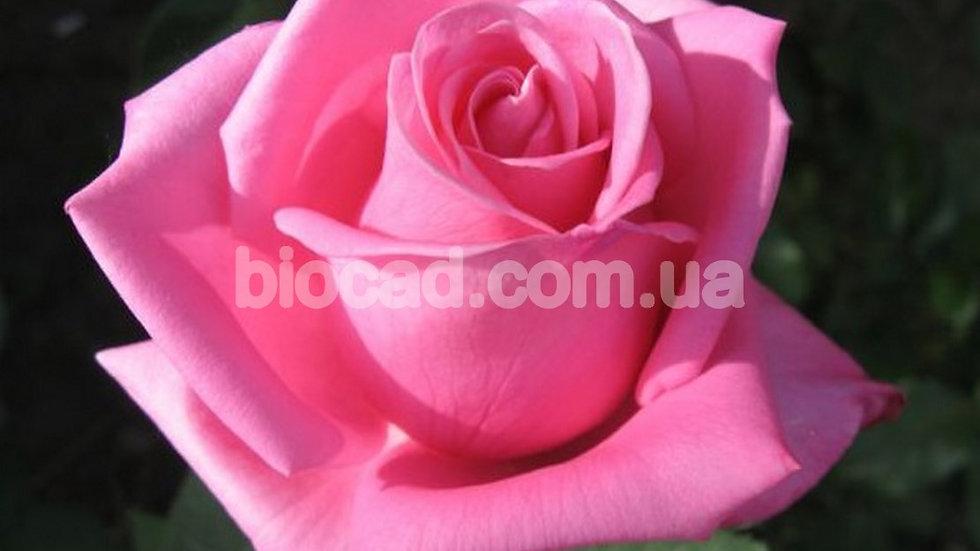 """Роза чайно-гибридная """"АКВА"""""""