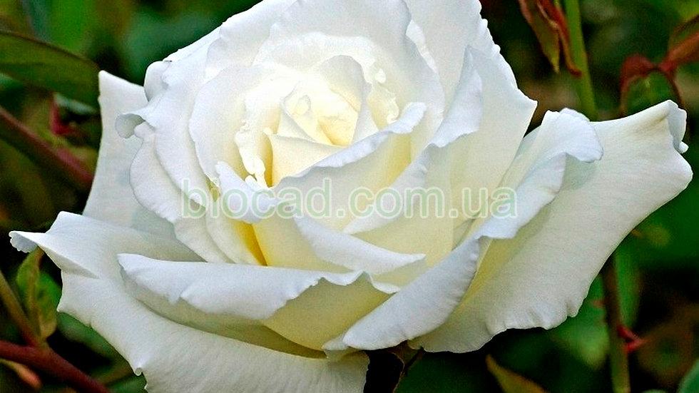 "Роза чайно-гибридная ""БОИНГ"""