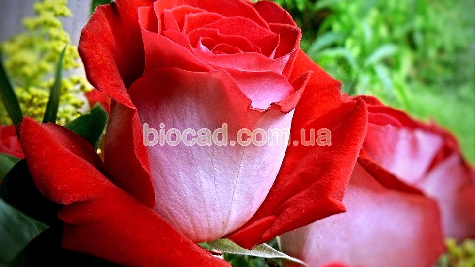 "Роза чайно-гибридная ""ЛАТИН ЛЕДИ"""