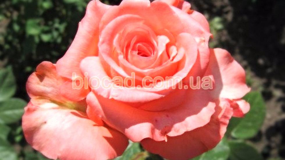 """Роза чайно-гибридная """"НОБИЛИС"""""""