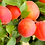 Apricot Farlis_Биосад_саженцы