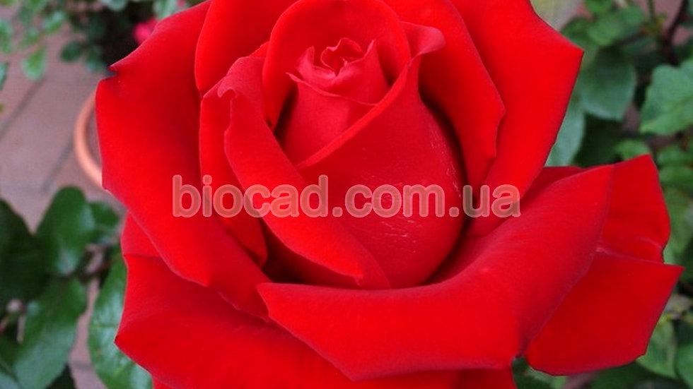 "Роза чайно-гибридная ""БУРГУНДИ"""