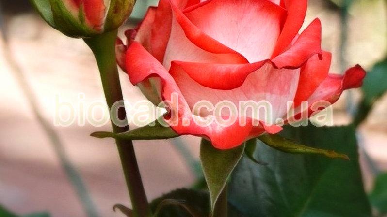 """Роза чайно-гибридная """"БЛАШ"""""""