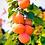 "Thumbnail: Абрикос ""СВИТ КОТ"" (Sweet Cot)"