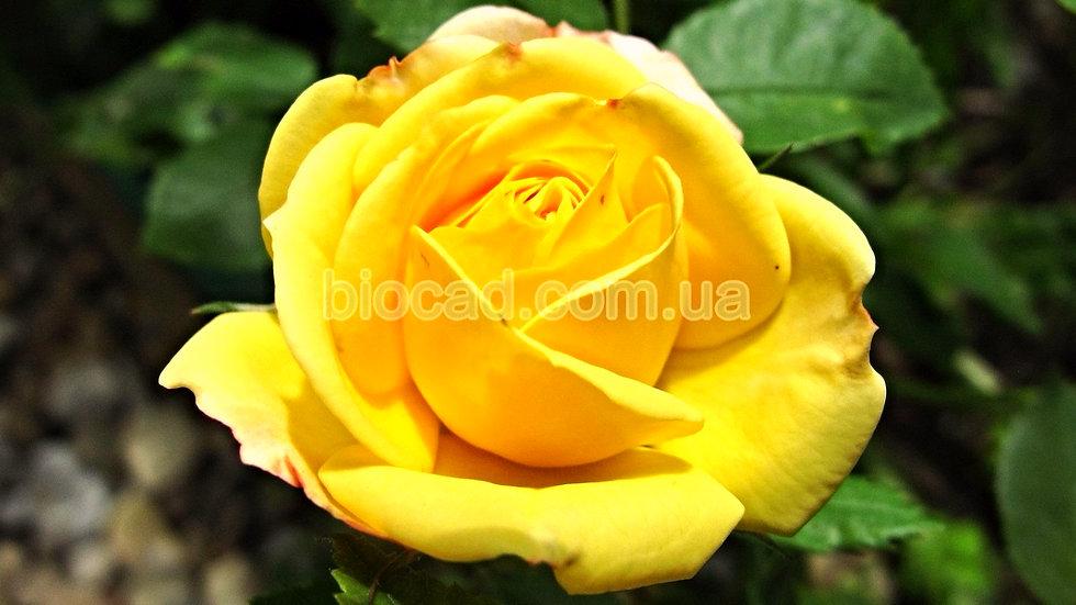 Роза чайно-гибридная Желтый Остров_Биосад_саженцы