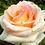 """Thumbnail: Роза чайно-гибридная """"ВЕРСИЛИЯ"""""""