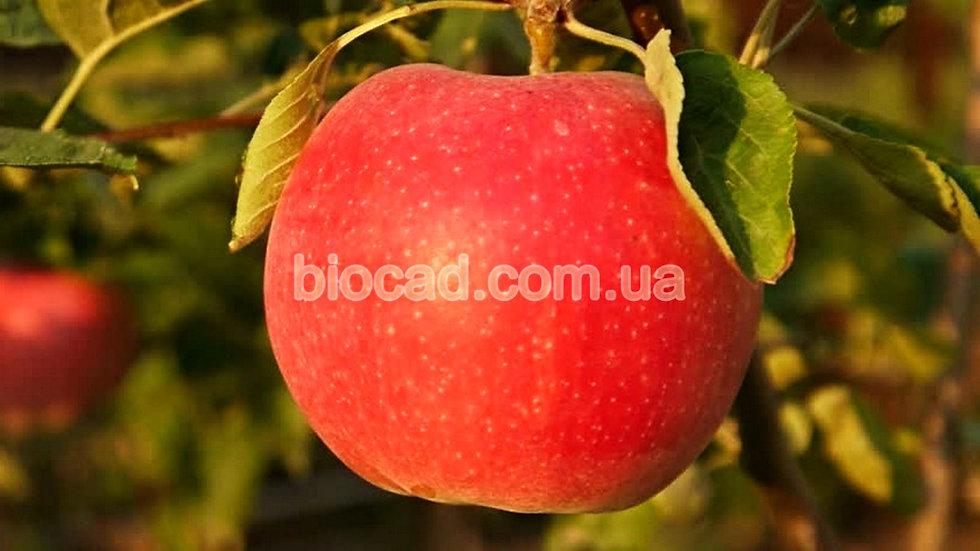 Яблоня Джонаголд Декоста