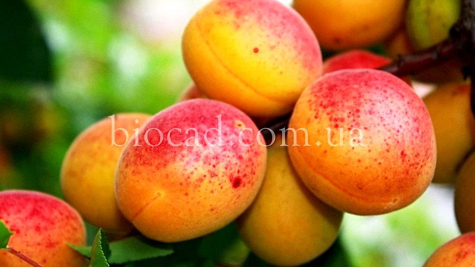 Apricot Hargrand_Биосад_саженцы